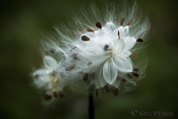 Milkweed Closeup