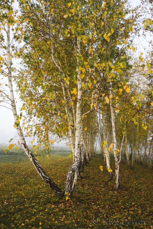 Birch Trees, Swamp Creek Park, New Hanover