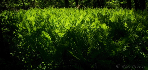 Valley Forge Ferns