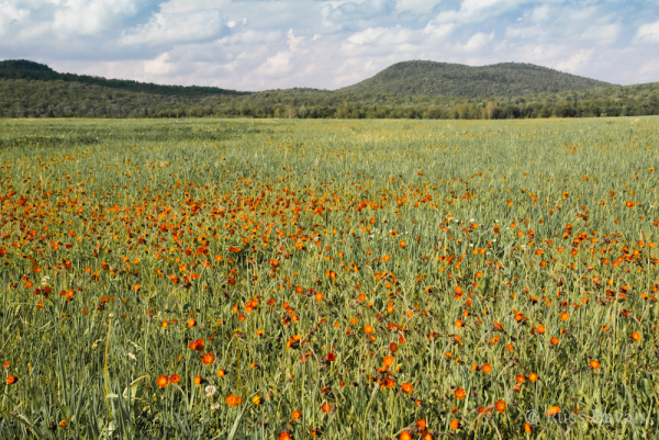 Field of Orange Hawkweed (Hieracium aurantiacum)