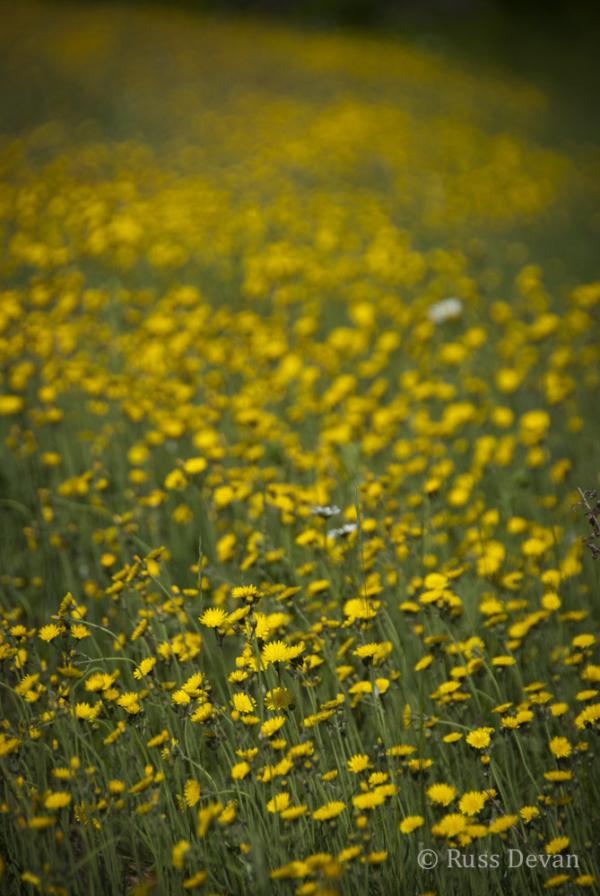 Field of Yellow Hawkweed (Hieracium pratense)