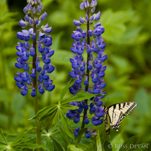 Tiger Swallowtail Butterfly on Lupine