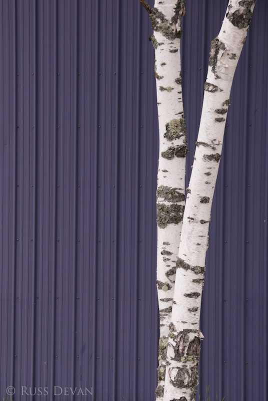 Birch On Purple I