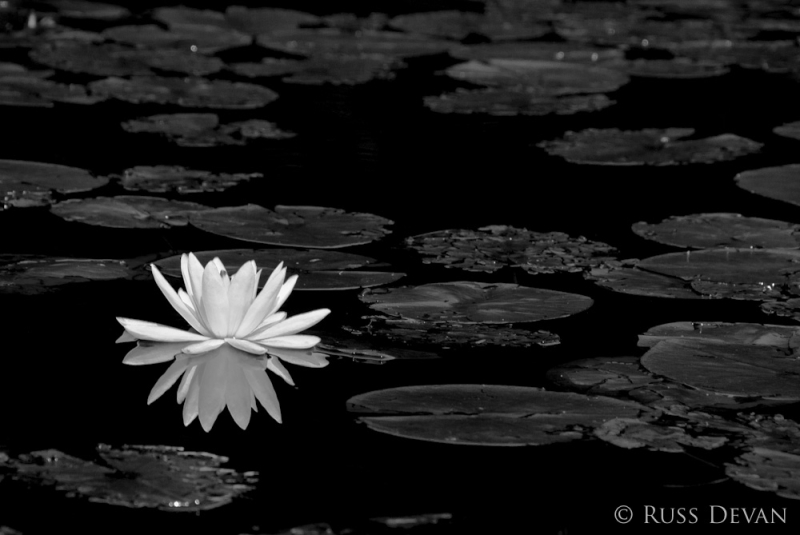 Water Lilly Reflection