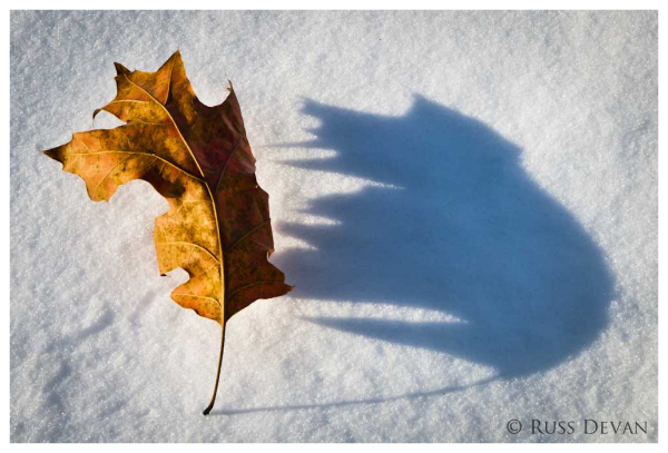 Oak Leaf on Snow