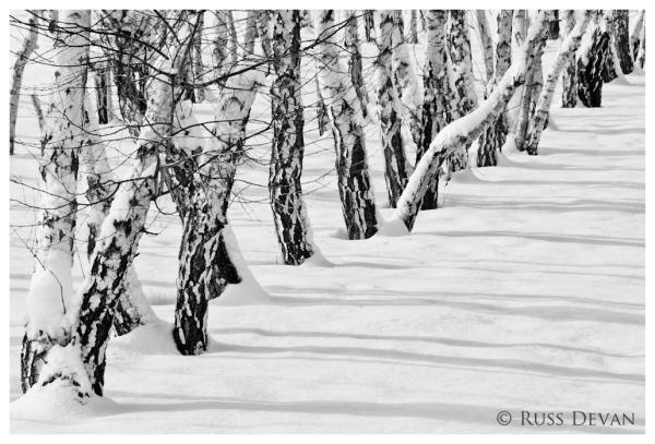 Winter Birch IV