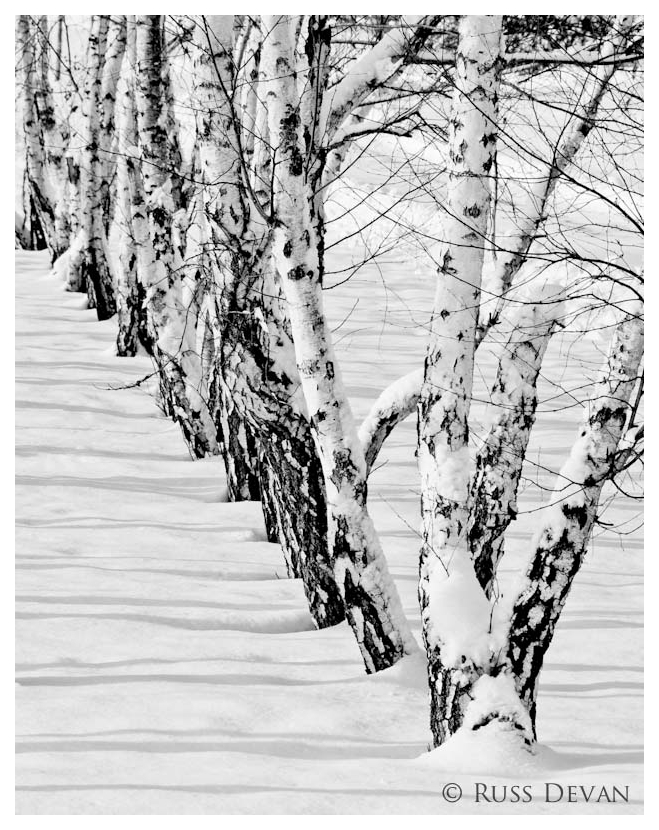 Winter Birch III