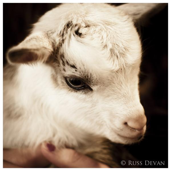 Closeup of a kid goat