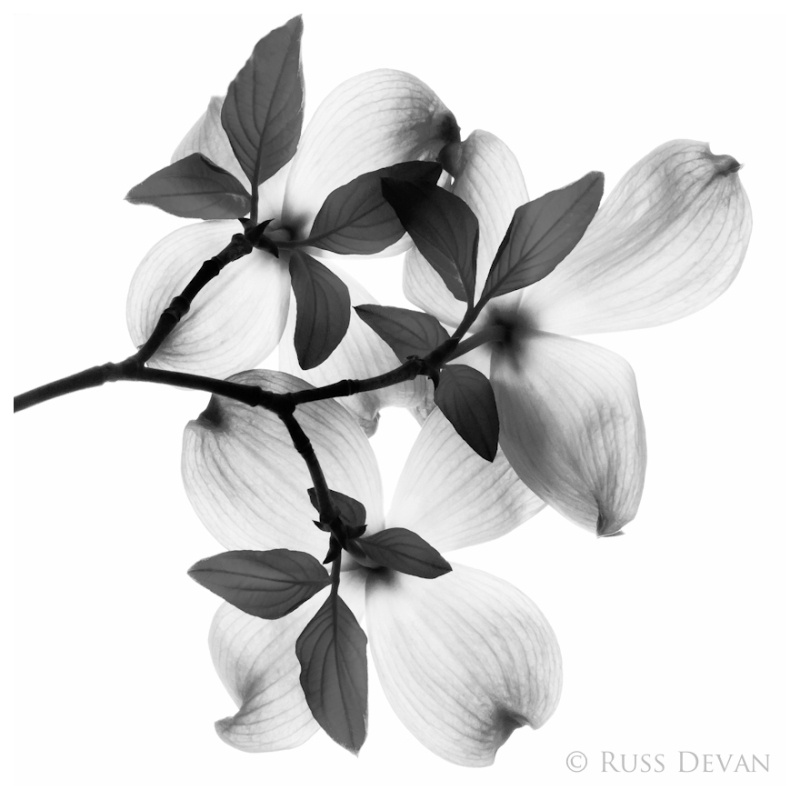 Flowering Dogwood - Monochrome Version