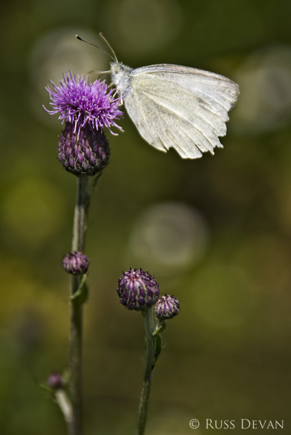 Butterfly and Thistle