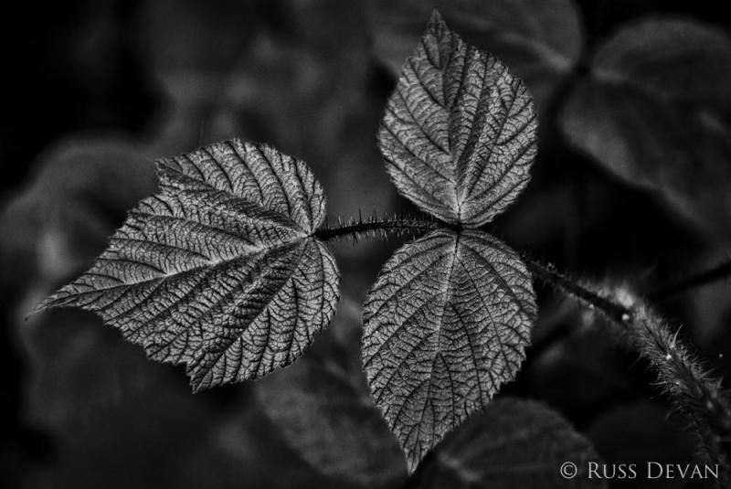 Blackberry Leaves (Rubus fruticosus)