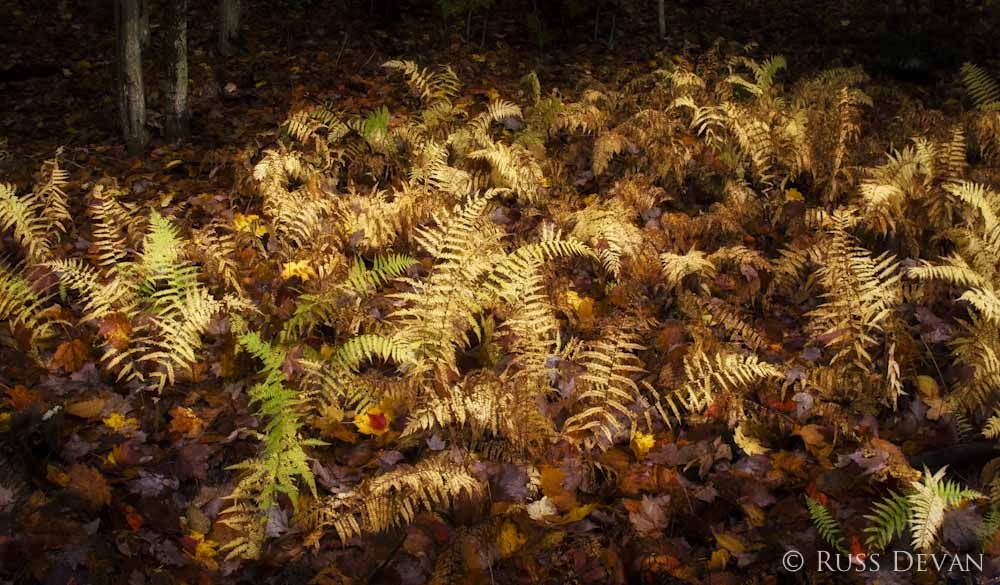 Golden ferns in autumn, Cascade Lake, Adirondacks