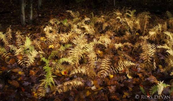 Golden ferns in autumn, Cascade Lake, Adirondacks