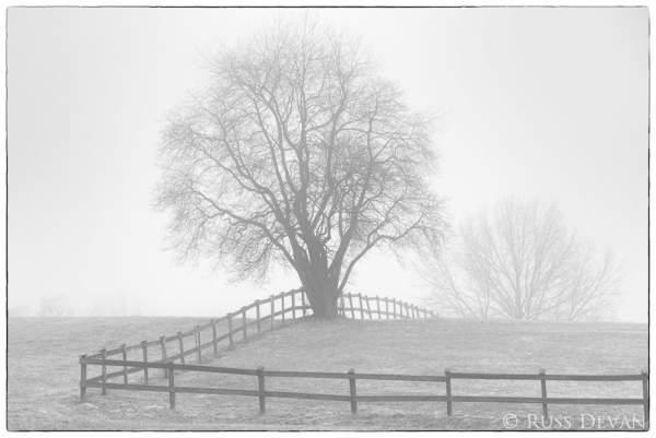 spreading tree beside fence in fog