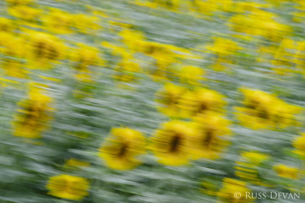 sunflowers in wind
