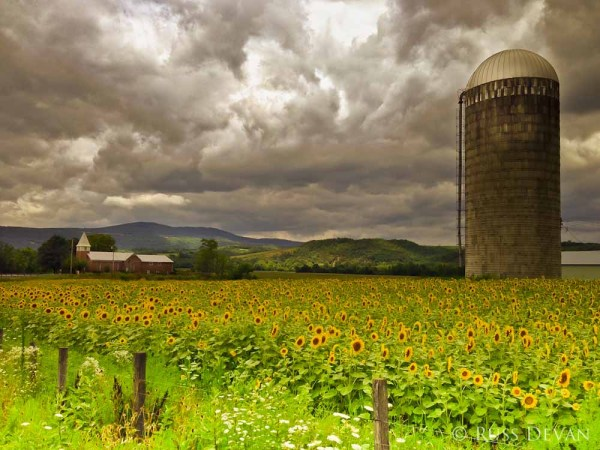 Clearing Storm and Sunflowers