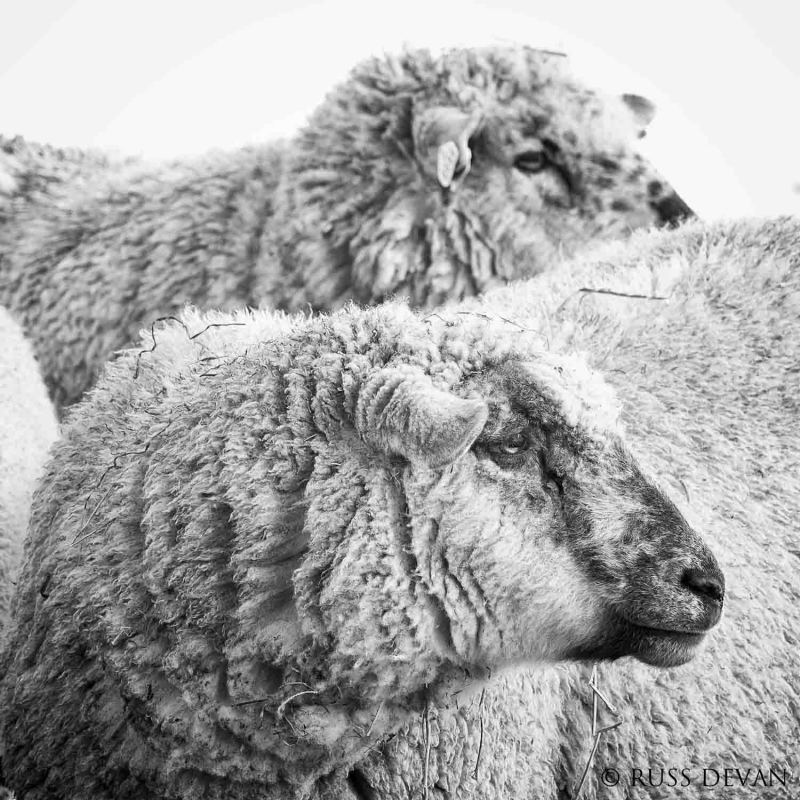 Closeup of two sheep