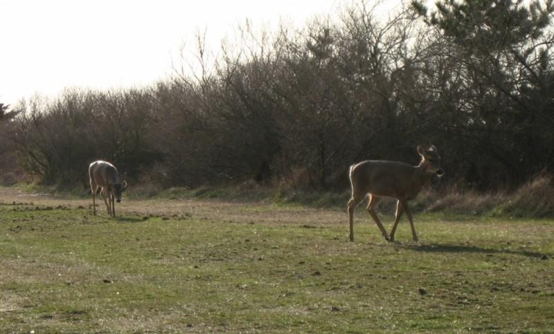 Deer eating an afternoon snack.