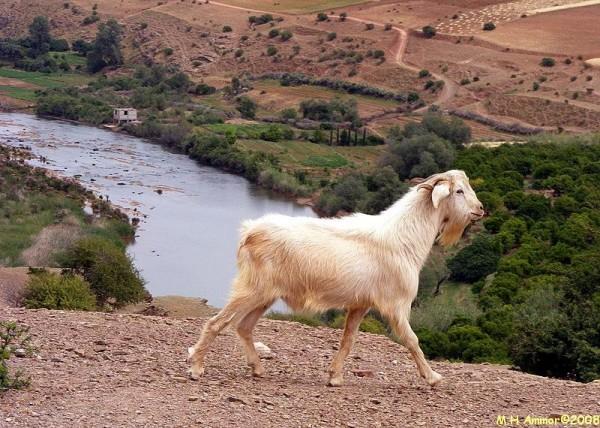 Les chèvres ne connaissent pas le vertige
