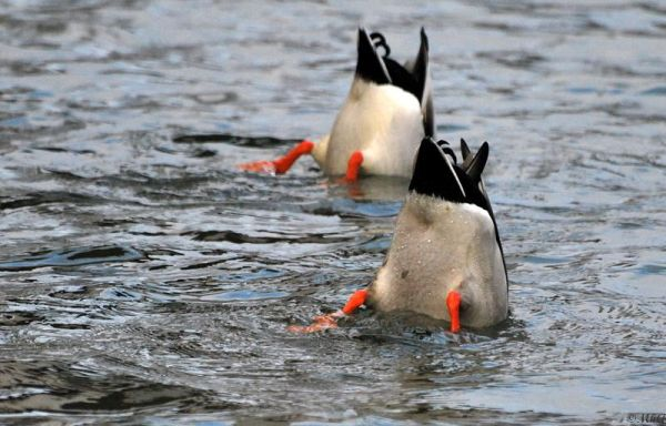 C'est la danse des canards...Silly Tuesday !