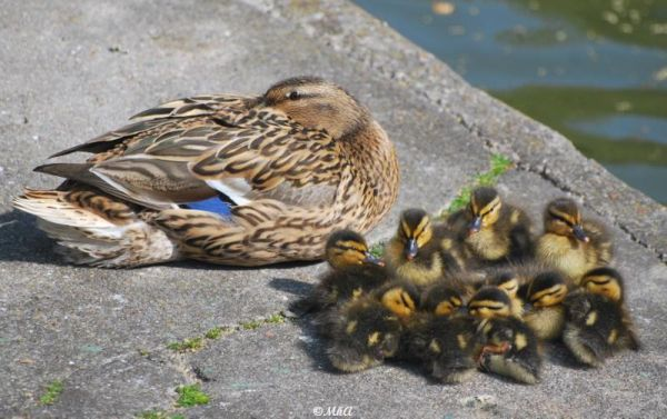Secret meeting of  ducklings