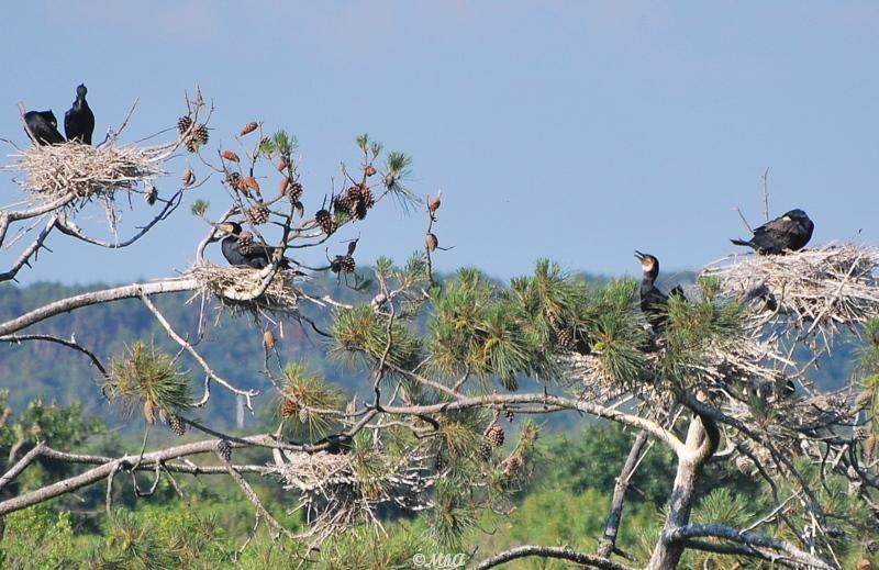 Les cormorans / Cormorants