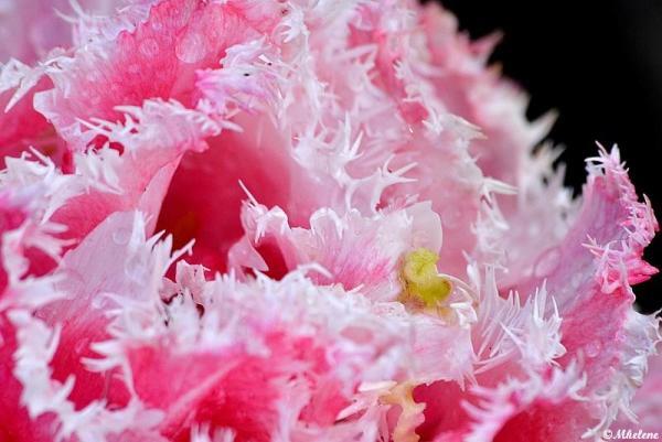 Les dernières tulipes - 1