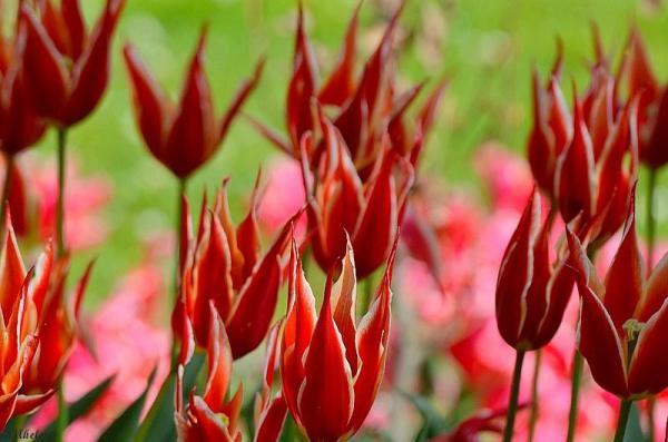 Les dernières tulipes - 2