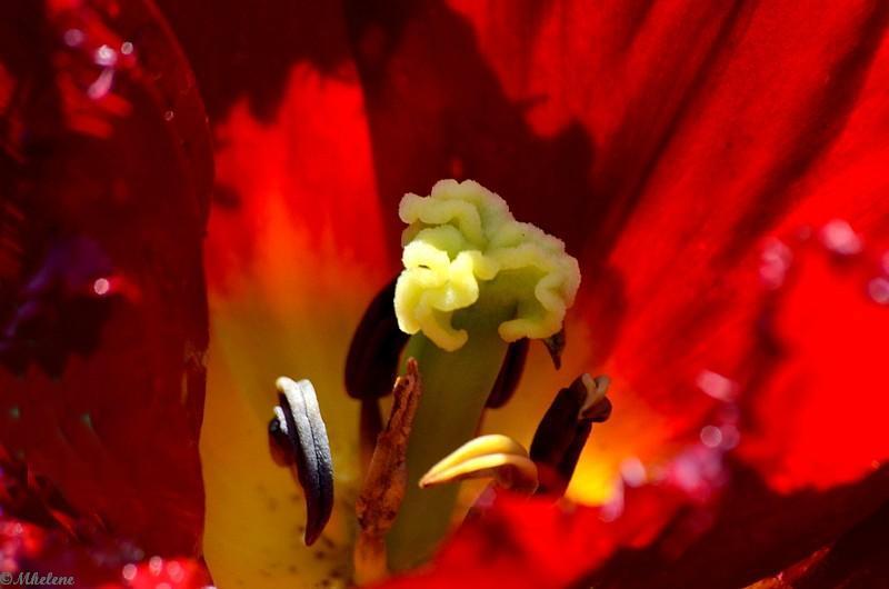 Les dernières tulipes - 3