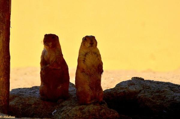 Les chiens de prairie
