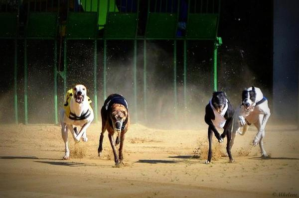 Whippets and Greyhounds 4