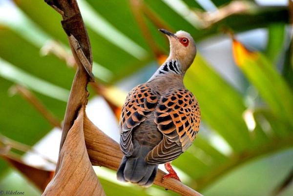 Tourterelle des bois - Turtle dove