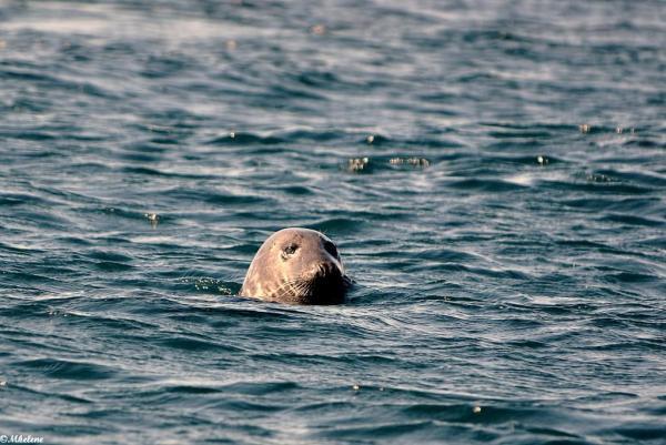 Les phoques