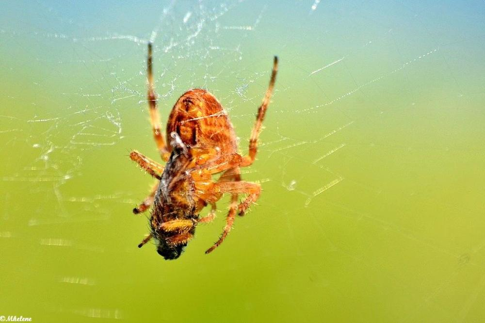 L'araignée et sa proie