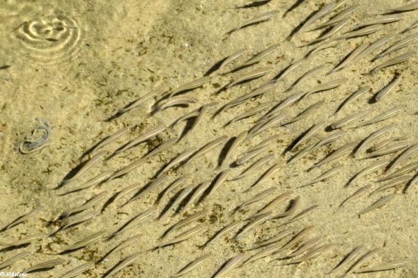 Les poissons remontent avec la marée