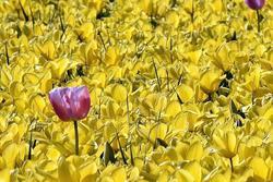 Les champs de fleurs de Tronoën  2