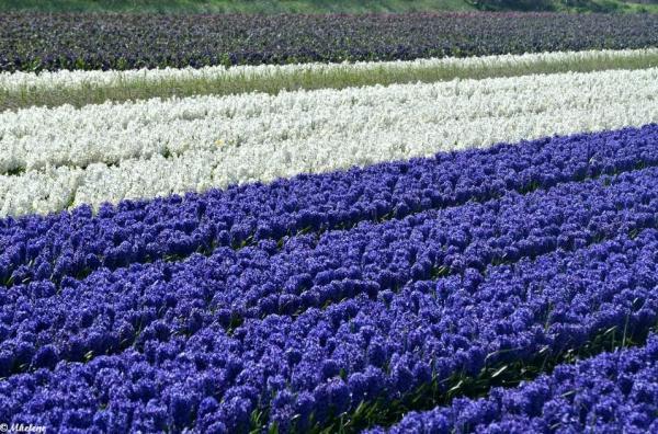 Les champs de fleurs de Tronoën -3