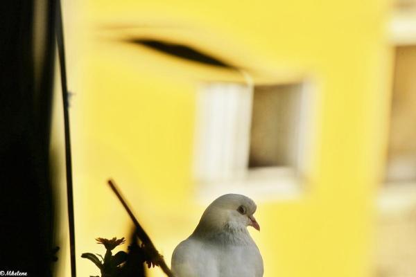 Le pigeon blanc