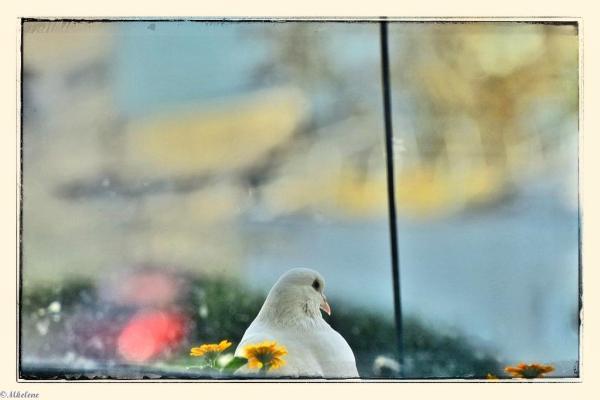 Le pigeon blanc - 2