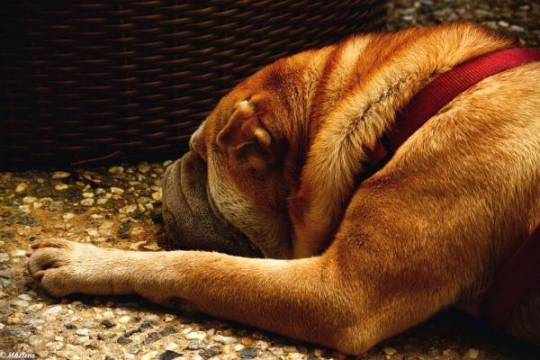 Le chien au pied du fauteuil