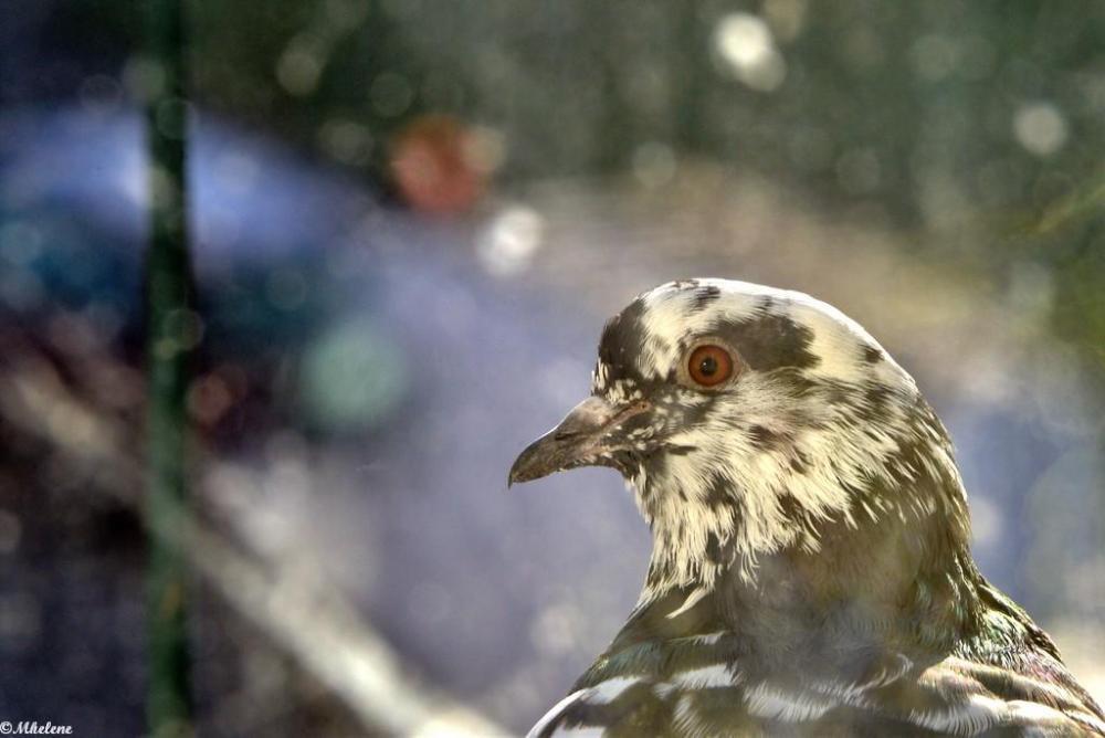 Un pigeon au balcon