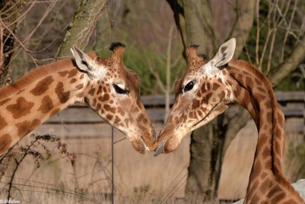 Le coeur des girafes
