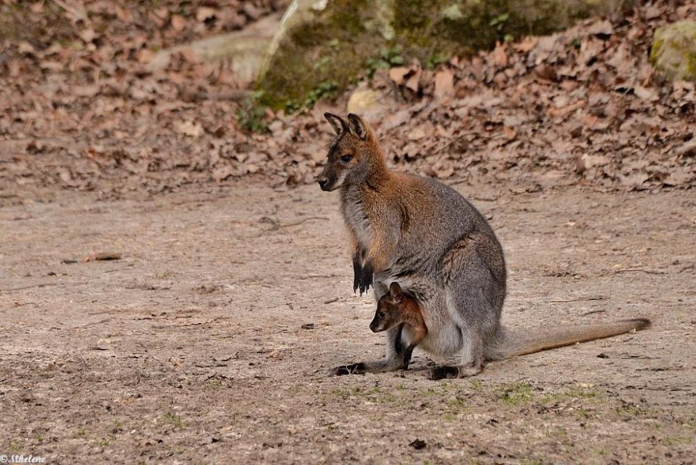 Un autre petit wallaby dans la poche maternelle