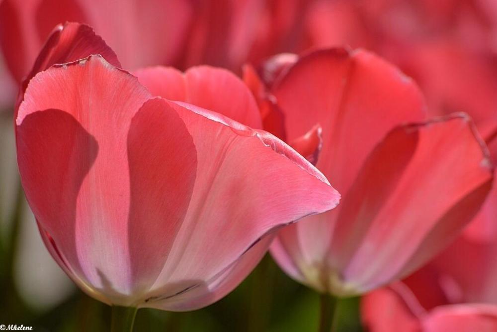 Les Tulipes 4
