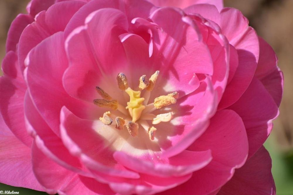 Les Tulipes 5