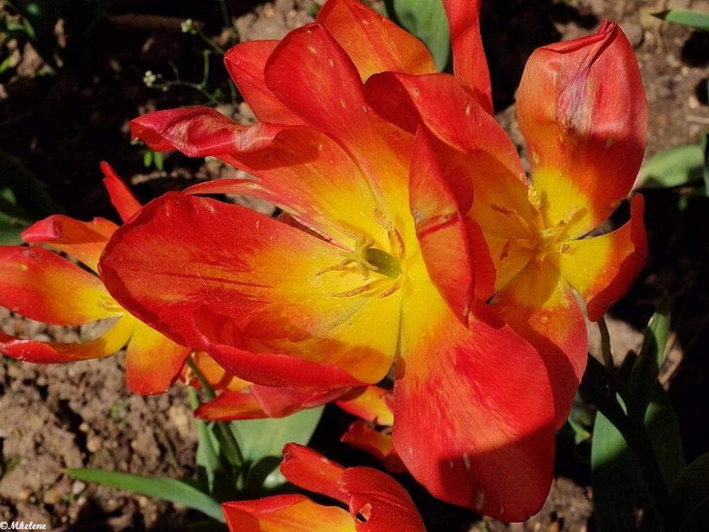 La fin des tulipes
