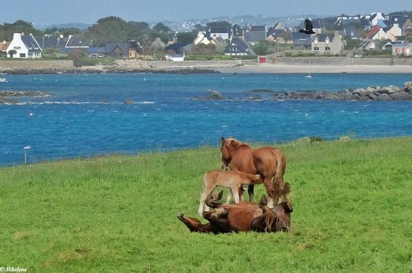 Les chevaux de Landunvez