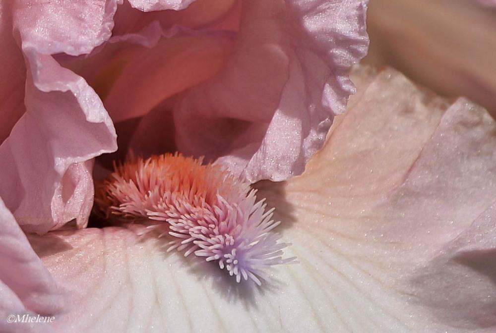 L'iris rose