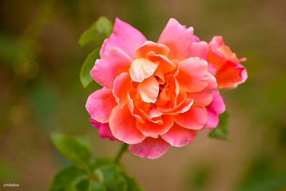 Les roses anciennes -3