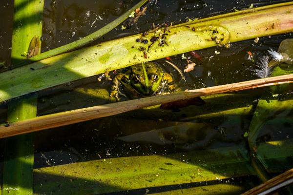 Le petit monde de l'étang - 11